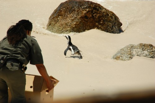 A penguin being re-released on Boulder's Beach