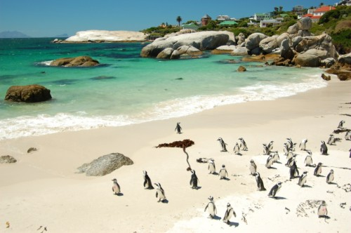 Penguins on Boulder's Beach