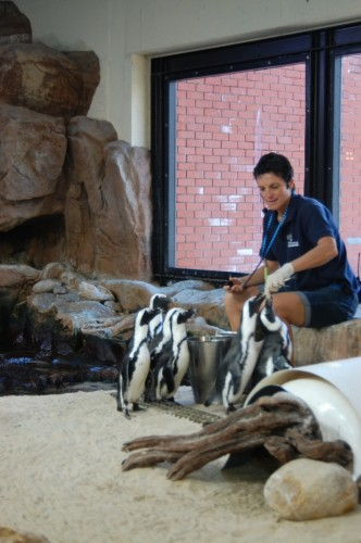 African penguins at feeding time