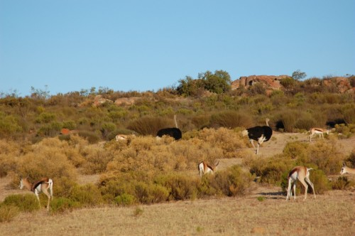 Ostriches and springbok