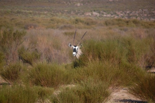 Oryx (or gemsbok)